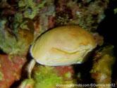Crabe, bombé, beige, grosses pinces aplaties, dentées