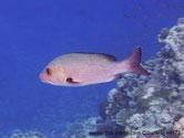 poisson, argenté rosâtre, nageoires, noires