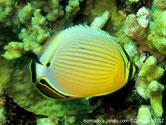 poisson, corps rond, comprimé, jaune, lignes bleutées, horizontales, tache noire, arrière , oeil, bande noire