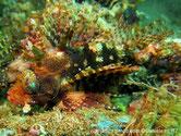 poisson, trapu, brun rougeâtre, nageoires pectorales, bandes concentriques, brun crème, jaune