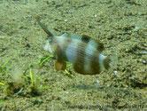 poisson, première nageoire dorsale très longue, bandes brunes