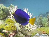 poisson, bleu, queue jaune