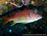 poisson, rouge orangé, tête, tache rouge
