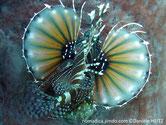 poisson, rayé, nageoires, membrane, base points blancs