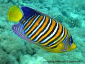 poisson, orange, rayé, blanc, noir