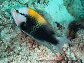 poisson, tête blanche, barre noir, dos orange, jaune, vert et gris
