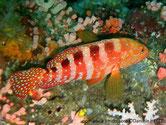 mérou, rouge orangé, points bleus, dos, barres, brun foncé, flancs blanchâtres.