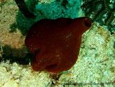 Eponge, forme poire, couleur brun rougeâtre