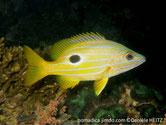 poisson, jaune, rayé, bleu, tache noire