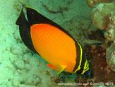 poisson, jaune, noir, lignes horizontales