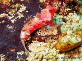 poisson, allongé, couleur rouge, taché de blanc, brunâtre, 1ère dorsale courte, nageoires pectorales en forme de petit éventail