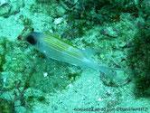 Poisson, argenté lignes horizontales rougeâtre,  nageoires blanches, 1ère partie nageoire dorsale jaune, gros yeux, tête ligne blanche verticale et horizontale.