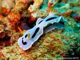 Nudibranche, bleuté, moucheté de blanc, ligne discontinue noire, rhinophores et panache branchial, base blanche jaune orangé