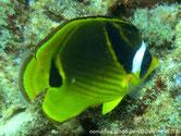 poisson, jaune, noir, lignes oblique, tache noire