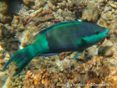 poisson, gorge, arrière queue, bleu clair