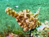 poisson, comprimé, couleur de fond brun, verdâtre, marbrée, petites excroissances pointues,  sous menton, goitre