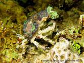 crabe, pattes, longues fines, baguées brun foncé,  carapace couverte d'anémones,