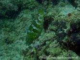 poisson perroquet,  brun doré, 5 lignes bleues, motifs lignes bleus tête et menton, queue, lobes externes, bleus