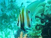 poisson, comprimé, 2 ocelles noirs, cerclés blanc,  bandes orangées, verticales,