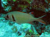 poisson, opercule, barre rougeâtre
