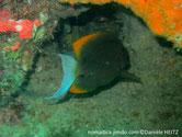 poisson, comprimé, nageoire dorsale et anale, angulaires, bordées, jaune orangé, queue, demi-lune, blanche