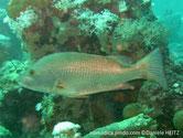 poisson, corps massif, dos brun verdâtre, flancs,  ventre, rougeâtre, nageoires teintée rougeâtre