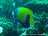 poisson, comprimé, jaune, écailles tachées, bleu, zone bleue foncé, brodé bleu vif