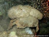 Crabe, carapace large, couleur brun clair, éponges sur le dos