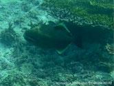 poisson, ovale, couleur brun foncé, joue, ligne, blanche