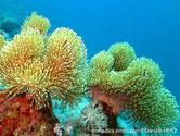 Corail mou, pied épais, feuille ondulée, polypes longs