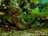 hippocampe, corps grisâtre, brunâtre, points noirs