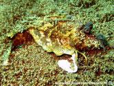 poisson, yeux proéminents,  nageoires pectorales intérieur colorées, longues épines dorsales