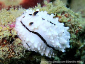 nudibranche verruqueux