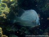 poisson, corps allongé, couleur, gris clair, gris foncé, opercule, ligne, noire,
