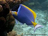 poisson, bleu, tête noire, nageoires jaunes