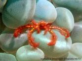 crabe, rouge orangé, couvert de poils, très petite carapace, très longues pattes,