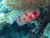 poisson, gros, yeux, marbré, rouge, argenté, queue, arrondie