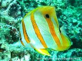 poisson, blanc, bandes, jaune orangé, ocelle noir