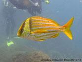 poisson, larges rayures jaunes, horizontales, tête, 2 barres noires , larges