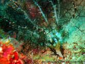 holothurie, corps enterré, tentacules arborescents