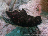 Ver marin plat, brun foncé, petits points blanc, bandes rose orangé bordées de noir
