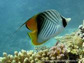 poisson, blanc, noir, jaune, lignes obliques