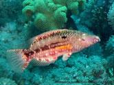 poisson, lignes brune, croix blanches
