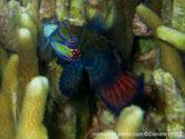 poisson, très coloré, orangé, vert, bleu, joues, points orangés