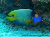 poisson, jaune, bleu, tête, bleu vif, masque, orange