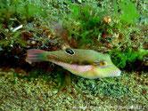 poisson, court, trapu, bicolore, verdâtre, blanc, base dorsale, tache noire, cerclé bleu, trait bleu, traits bleu, oeil, et menton