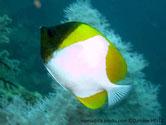 poisson, comprimé, corps, blanc, forme pyramide, 3 zones jaunes,  tête noire