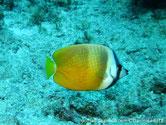 poisson, jaune, bandes blanches