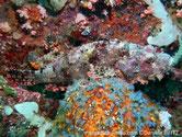 poisson scorpion, marbré, nageoire dorsale, tache violacée