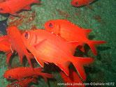 poisson, rouge